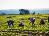 Emergenza caldo: appello dei sindacati UILA- FAI- FLAI per la sicurezza nell'agricoltura